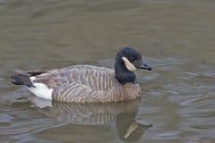 Cackling Goose, Branta hutchinsii Royalty Free Stock Photos