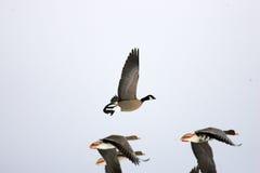 Cackling Goose Stock Photos