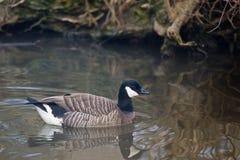 Cackling Goose, Branta hutchinsii swimming Stock Image