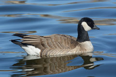Cackling Goose Stock Image