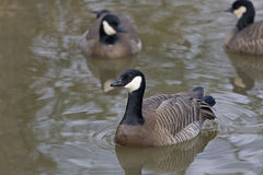 Cackling Goose, Branta hutchinsii on the water Stock Photo