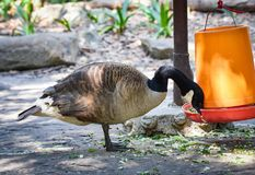 Cackling goose Stock Images