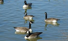 Cackling Goose with Canada geese lake in canyon texas. Cackling Goose Branta Hutchinsii among larger Canada geese in Texas High Plains private lake Canyon Texas stock photography