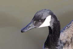 Cackling goose is dreaming Royalty Free Stock Images