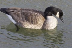 Cackling goose looking into the water Stock Images