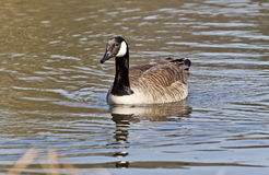 Cackling Goose. The newly recognized Cackling Goose is a smaller version of the Canada Goose Royalty Free Stock Photos