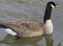 Cackling goose is screaming Royalty Free Stock Photography