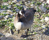 Cackling goose is staying at the shore Royalty Free Stock Photography