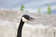 Cackling goose is talking Royalty Free Stock Images