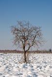 caco查出的结构树冬天 免版税库存图片