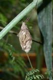 cacoon бабочки стоковое изображение