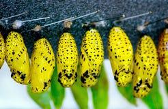 Cacoons που γεμίζουν ζωηρόχρωμα με τις αυξανόμενες πεταλούδες στοκ φωτογραφίες με δικαίωμα ελεύθερης χρήσης