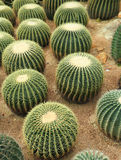 Cactaceae. On some dry sand Royalty Free Stock Images