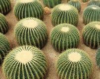 Cactaceae Stock Photos