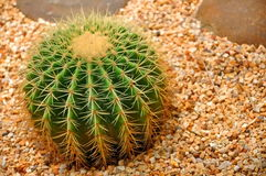 Cactaceae Royalty Free Stock Photos