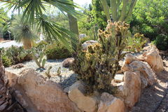Cactaceae Imagem de Stock