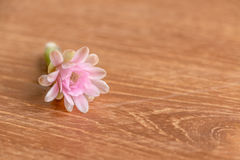 Cactaceae flower. On the wooden background Royalty Free Stock Images