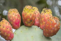 Cactaceae, Opuntia, kłujących bonkret kaktusa fruitsand Obrazy Royalty Free