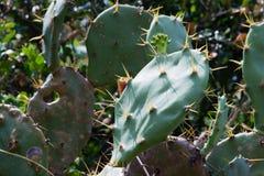 Cactaceae. In Tai Po, Hong Kong, China stock image