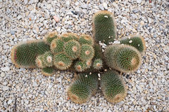 Cactaceae. View from above of a Cactaceae Stock Photo