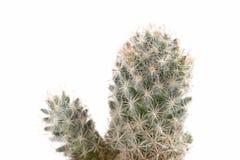 Cactaceaemakro Fotografering för Bildbyråer