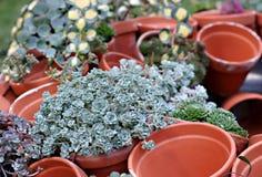 Cactaceous. Aeonium hawarthii and pots Royalty Free Stock Image