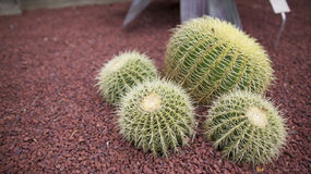 Cacti Stock Photo