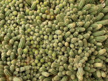 Cacti 3 Royalty Free Stock Photography