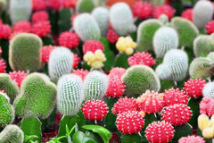 Cacti. A group of colorful cacti royalty free stock photography