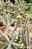 Cacti Stock Photos