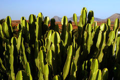 Cacti. In the Canary Islands stock images