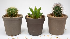 Cacti in abreast Royalty Free Stock Photo