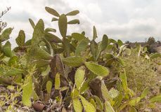 Cacti along the way. Survival in a hot environment royalty free stock photos