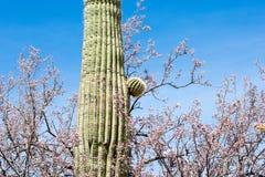 Cactus, American Western Desert Landscape royalty free stock image