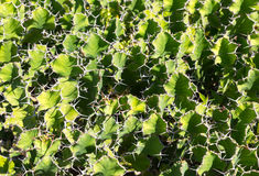 Cacti background Stock Photos