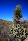 Cacti in big bend texas Stock Photography