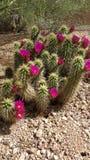 Cacti in bloom Stock Photo