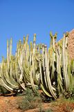 Cacti with blue sky on the background. Green cacti with blue sky on the background. Location Fuerteventura, Canary Islands cactus succulent thorn canarias stock photography