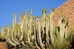 Cacti with blue sky on the background. Green cacti with blue sky on the background. Location Fuerteventura, Canary Islands cactus succulent thorn canarias royalty free stock photos