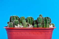 Cacti in a brown pot Royalty Free Stock Images