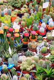 Cacti cactus and succulents royalty free stock images
