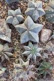 Cacti cactus, top view, flat  lay. Royalty Free Stock Photos