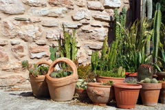 Cacti in clay pots Stock Image