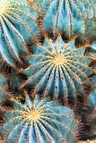 Cacti. Close up of a cluster of green barrel cactus' from Mexico Royalty Free Stock Images