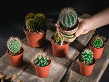Children`s hand holds a cactus. Cacti collection on dark background. Low key lighting. Cacti collection on dark background. Low key lighting. Children`s hand royalty free stock image