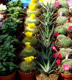 Cacti. Colorful small cacti at the fair for sale Royalty Free Stock Images