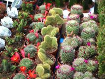 Cacti. Colorful small cacti at the fair for sale Stock Photos
