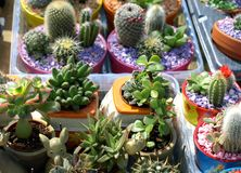 Cacti. Colorful small cacti at the fair for sale Royalty Free Stock Photos