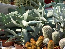 Cacti. Colorful small cacti at the fair for sale Royalty Free Stock Photo