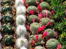 Cacti. Colorful small cacti at the fair for sale Stock Images